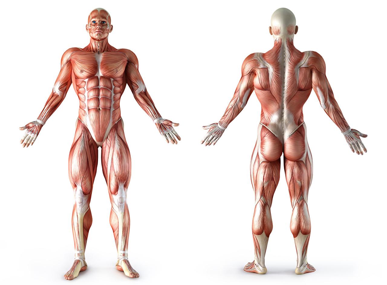 cadenas musculares del cuerpo